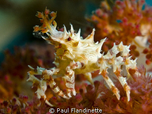 Soft Coral Crab by Paul Flandinette 